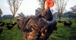 Poulet de Challans, poulet des champs !